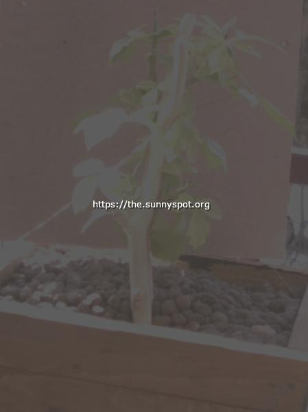 Tssthe Green Thumb Acer Negundo 01
